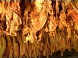 Liście tytoniu, jakość najwyższa 663-535-221