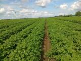 Sadzeniaki kwalifikowane DALI, INGRID. producent