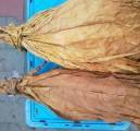 tyton liscie liście tytoniu 888 290 256