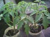 Sprzedam sadzonki pomidora odm. Malinowy Olbrzym
