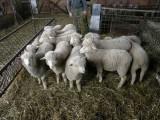 Sprzedam owce jarki rasa wielkopolska