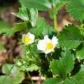 Sadzonki truskawek lubuskie Zielona Góra Gorzów