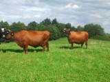 Krowy Polskie Czerwone cielne