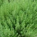 Nasiona tymianku