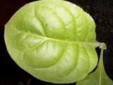 liście tytoniu, sadzonki tytoniu, nasiona tytoniu