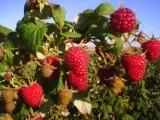 Sadzonki maliny Polka i truskawek