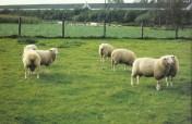 Sprzedam owce hodowlane rasy pon.