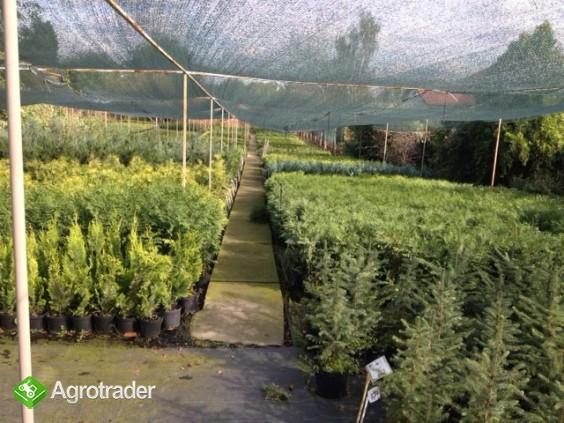 Tuje żywopłotowe i ponad 280 odmian krzewów. - zdjęcie 1