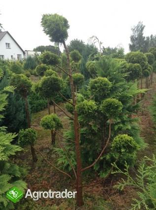 Tuje żywopłotowe i ponad 280 odmian krzewów. - zdjęcie 2