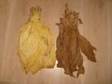 Liście tytoniu Virginia Burley Skroniowski (świętokrzyskie)