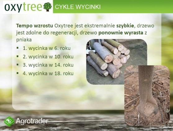 Oxytree - drzewo rosnących korzyści ( gleba: IV-VI klasa) - zdjęcie 1