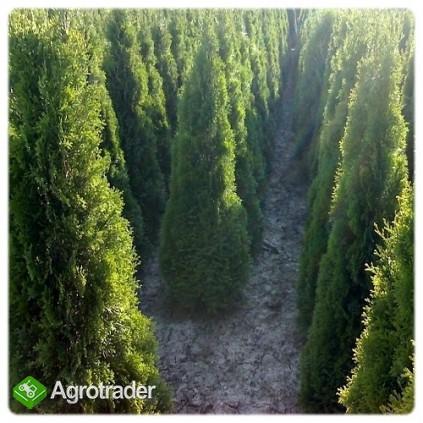 Ogród,Ogrody,Ogrodnik,koszenie,koszenie trawy,tuje,Wisła,Ustroń,Brenna - zdjęcie 3