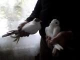 Sprzedam Gołębie Ozdobne i Pocztowe tanio