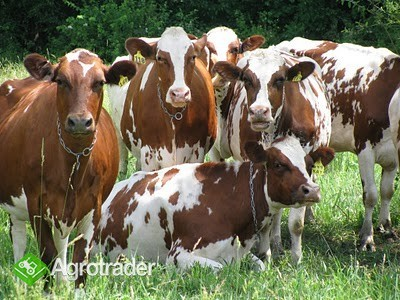 bydło mleczne wysokiej jakości na sprzedaż
