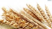 Skup pszenicy, kukurydzy, rzepaku!