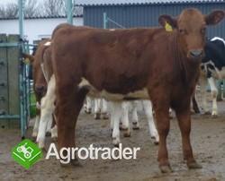 Jałówki mleczne- Duńska czerwona - zdjęcie 2
