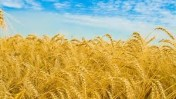 kupie pszenżyto i inne zboże