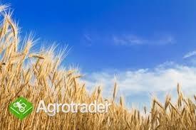 kupię pszenicę i inne zboże