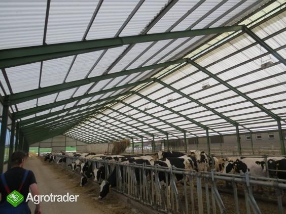 Krowy i jałówki HF czeskie