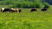 Ukraina. Byczki, jalowki 4 zl/kg. Sprzedam stada bydla miesnego