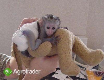 małpy cappuccino do adopcji