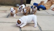 English Bulldog Puppies à venda