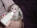 Małpy Kapucynów do adopcji /, sprzedam