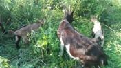 Sprzedam kozę z dwoma małymi kózkami (matka i córki)
