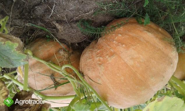 Dynia olbrzymia - zdjęcie 1