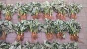 Sprzedam sadzonki truskawki odmiana Honey Matecznik 19gr szt!