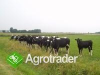 Ukraina. Krowy, bydlo opasowe 700 zl/szt. Mleko 4% cena 0,50 zl/litr.