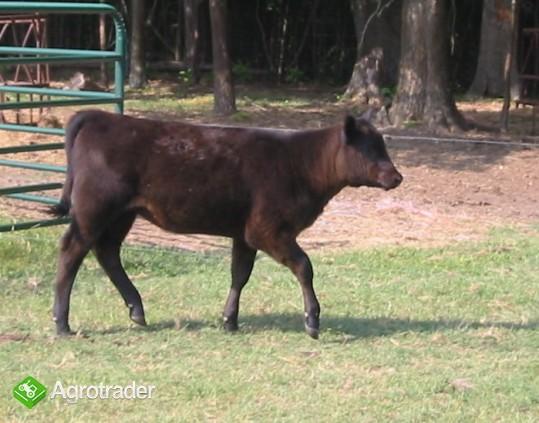 Zobacz i wybierz sam.Mięsne Byczki,jałówki 250-350kg-Łotwa,Estonia - zdjęcie 4