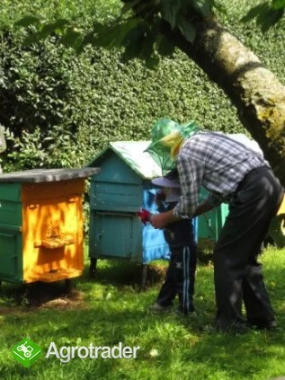 Sprzedam pszczoły w ulu warszawskim  - zdjęcie 1