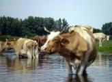 Ukraina. Stada krow, owiec, koz 4 zl/kg w cenie zywca.Oferujemy grunty