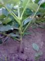 Sprzedam sadzonki orzecha włoskiego OKAZJA