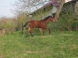 sprzedam  konia  --zrebaka