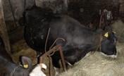 Krowa z 2 cielakami Oborniki Wlkp.