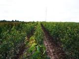 Drzewka owocowe do sadów ekologicznych