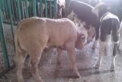 sprzedaż cieląt,byczki mięsne,simentale