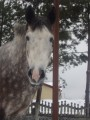 sprzedam konie rekreacyjne