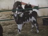Sprzedam byczki cielęta jałówki ras mięsnych do da