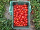 Sprzedam Pomidor gruntowy Dyno