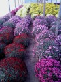 Sprzedam chryzamtemy drobnokwiatowe