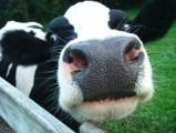 kwota mleczna 18000kg